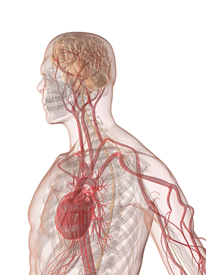 Illustration of a see-through human body from the waist up, revealing the heart, veins, and brain as a connected system.