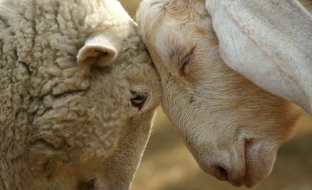 close-up of a sheep and goat pressing their foreheads together, eyes closed peacefully.