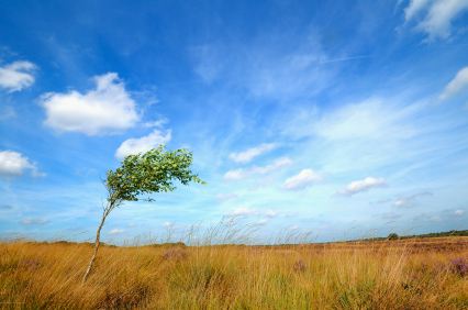 Lone tree in a field bending in the wind in front of a blue sky with white wispy clouds